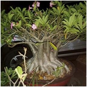 Adenium Thai Socotranum PBN sėklos