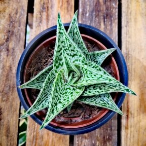 Aloe Variegata Tribal