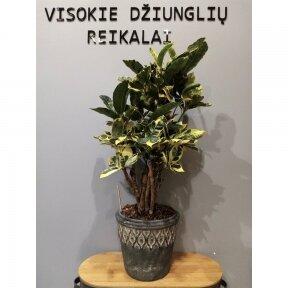 Codiaeum eburneum decorum
