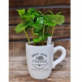 Coffee Arabica