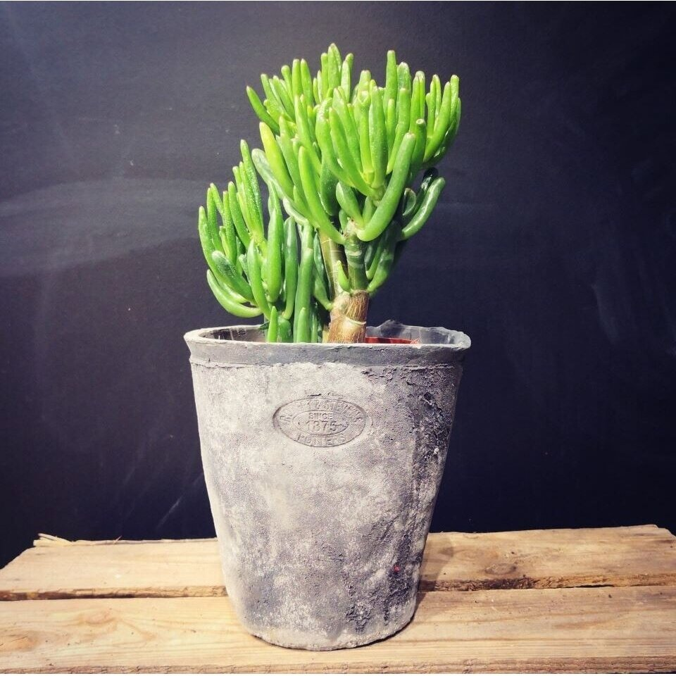 Crassula Ovata Hobit | Plants | My eshop SEO settings