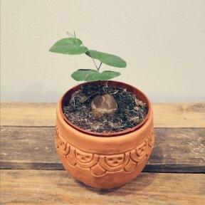 Dioscorea Elephantipes mažylis