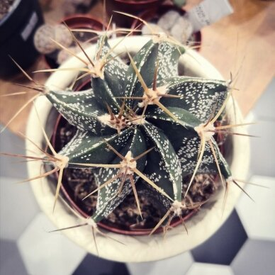 Didelis Astrophytum Ornatum