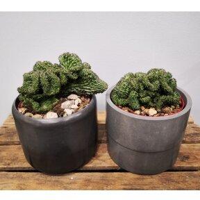 Euphorbia horrida crestata
