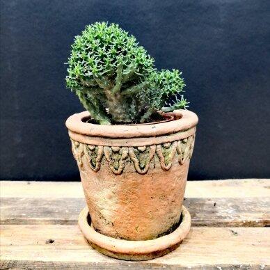 Euphorbia inermis ssp