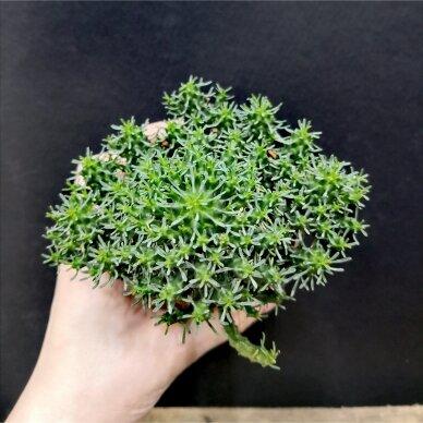 Euphorbia inermis ssp 2