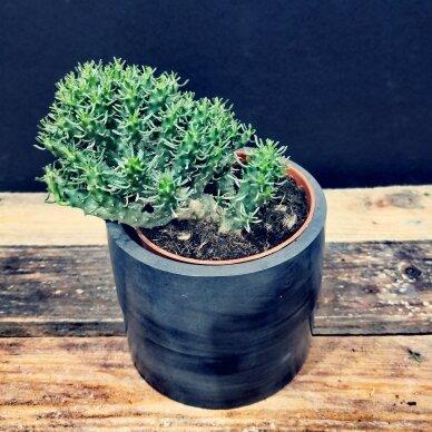 Euphorbia inermis ssp 3
