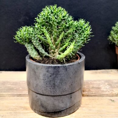 Euphorbia inermis ssp 4