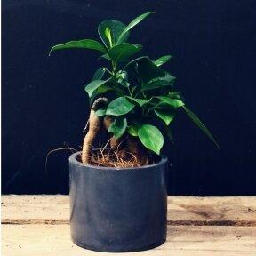 Ficus Microcarpa mažylis