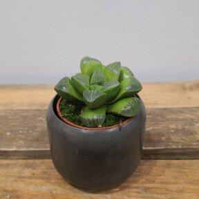 Haworthia retusa ssp