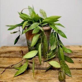 Hoya carnosa gracilis