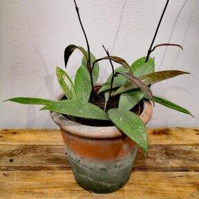 Hoya carnosa publicalix
