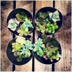 Keturių augalų miksas