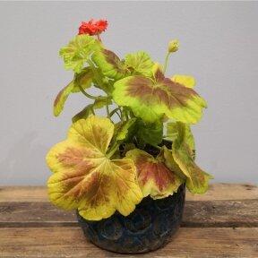 Pelargonium Vario Vancouver