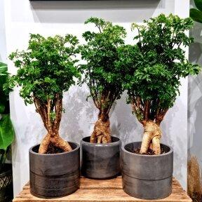 Polyscias Parsley Bonsai (fruticosa)