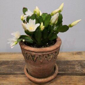 Rhipsalidopsis / Velykinis kaktusas (balti žiedai)