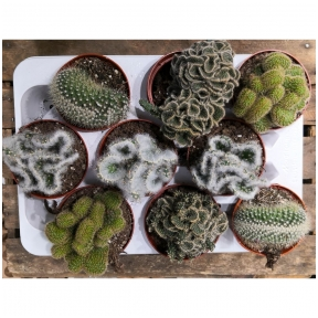 Skiauterėtieji kaktusai - mixas