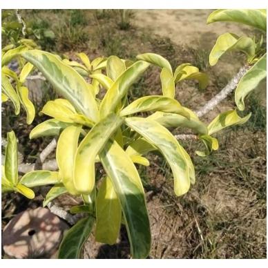 Variegatinių Adenium Obesum sėklos 7