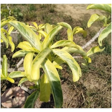 Variegatinių Adenium Obesum sėklos 4